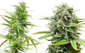 Can cannabis treat fibromyalgia better than prescription drugs ...