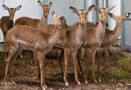 Impala Dies At Omaha Zoo After Becoming Stuck In Between Fences Electric Shock Could Be Factor Sandhills Express