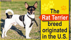 Rat Terrier Mix Breeds You Probably ...