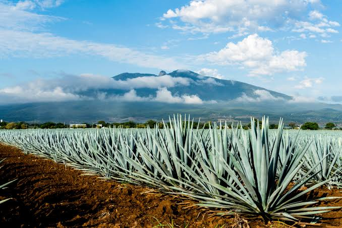 Source: InsideHook/ Tequila Plantation