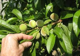 growing fruit trees archives plantnet