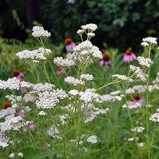 White Yarrow (Achillea millefolium)   Flores orquideas, Jardines ...