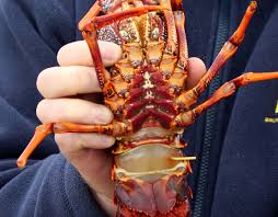 Start of lobster season prompts call to ...