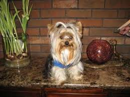 yorkies west highland white terriers