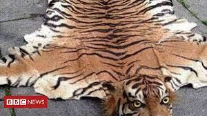 trader sold extinct tiger skin rugs