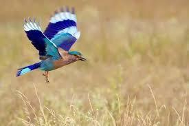 neelkanth bird wallpaper 725x483