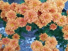 fall flowers chrysanthemum flower