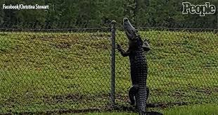 Florida Alligator Caught On Camera Calmly Climbing A Fence People Com