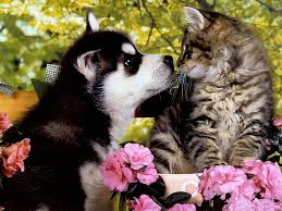 hd wallpaper huskie puppy a kitten