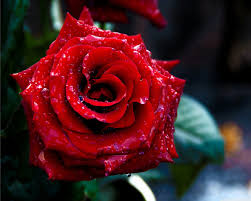 77 red rose flowers wallpapers on