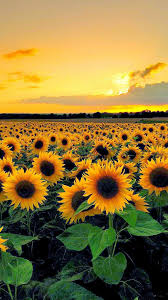 sunflower wallpapers top free