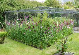 6 Easy Tips For Growing Sweet Peas Lovely Greens
