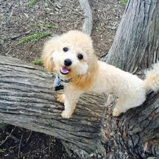 poodle mix puppies in raleigh nc the