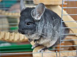 the best toys for chinchillas