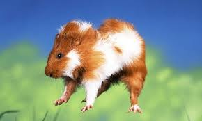A bayby guinea pig 'popcorning'. - Wide Open Pets