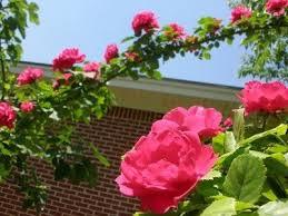 Pruning Climbing Roses How To Prune Climbing Roses