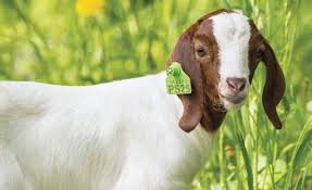 Electric Fence Ear Tags Sheep Goat Equipment Clippers And Shears Netting Backyard Poultry Supplies And More Premier1supplies
