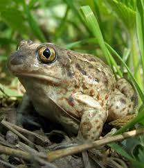 Видеть во сне жабу - к чему это