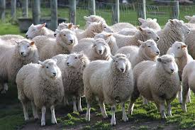 herd sheep, sheep, lamb, walter peak farm, farm, autumn, travel ...