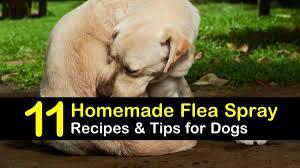 homemade flea spray recipes for dogs