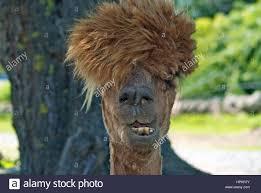 An Alpaca having bad hair day Stock ...