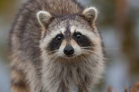 How To Get Rid Of Raccoons In Your Backyard Quickly 2020 Own The Yard