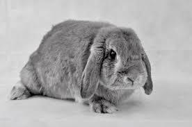 Une Race un Spécialiste : 16. Le lapin Bélier vu par l'Otologue