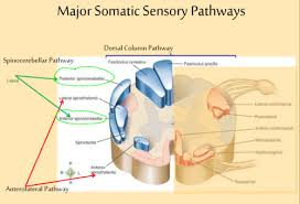 somatic sensory motor pathways
