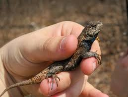 On The Subject Of Nature Eastern Fence Lizards