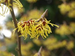 witch hazel guide winter flowering