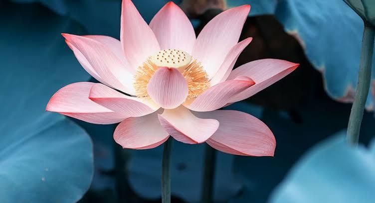Resultado de imagem para lama lotus
