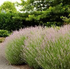 provence french lavender monrovia