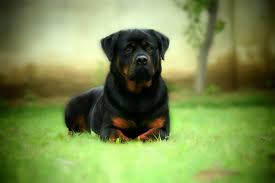 rottweiler dog hd photos لم