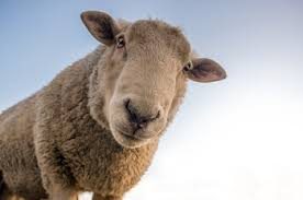 goose sheep quotes in charlotte s web com