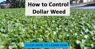 dollar weed in st augustine turf gr