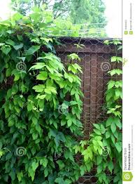 Healthy Green Ivy Growing Up Through Chicken Wire Fencing Stock Photo Image Of Nature Healthy 124533452