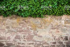 Ivy Stone Wall Stock Photo - Download Image Now - iStock