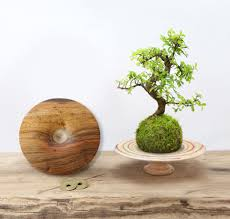 premium branded kokedama bonsai gift set