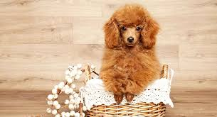 miniature poodle dog breed information