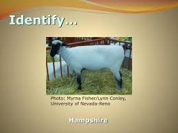 PPT - Practice Sheep Breed Contest PowerPoint Presentation, free download -  ID:2319086