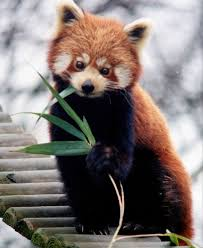 red panda and giant panda genomes show