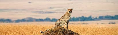 cheetah facts southern africa