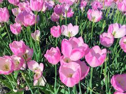hình ảnh : Hoa tulip, thiên nhiên, Mùa xuân, thực vật, đẹp, Đầy ...