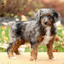 miniature aussiedoodle puppies