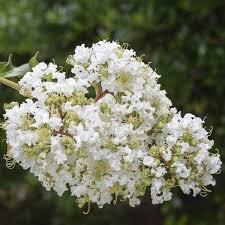 White Crape Myrtle Trees | NatureHills.com