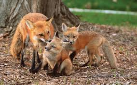 the fox the coyote and we badgers grow