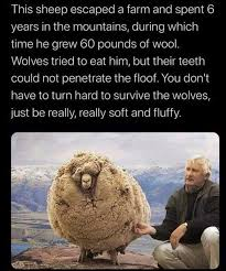 Dopl3r Com Memes This Sheep Escaped A Farm And Spent 6 Years In The Mountains During Which Time He Grew 60 Pounds Of Wool Wolves Tried To Eat Him But Their