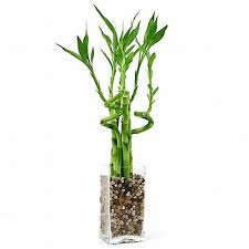 lucky bamboo arrangement natural