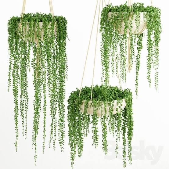 """Image result for string of pearls hanging basket"""""""