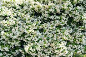 Trachelospermum Jasminoides Star Jasmine